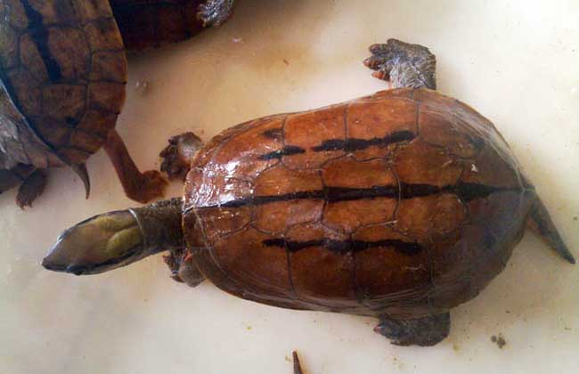 金钱龟的繁殖技术_金钱龟吃什么_石金钱龟养殖技术