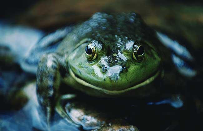 牛蛙的营养价值_牛蛙的养殖技术_牛蛙的市场价格