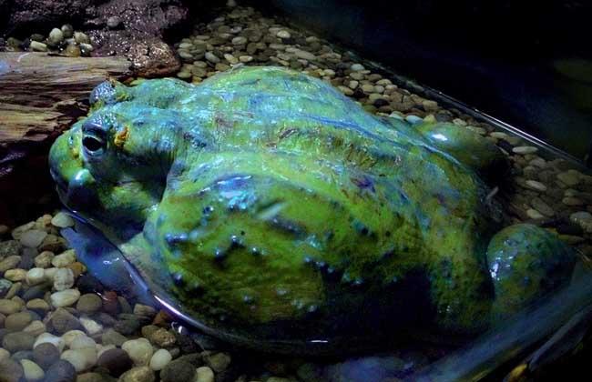 牛蛙吃什么食物?