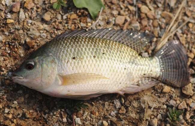 罗非鱼品种及图片大全