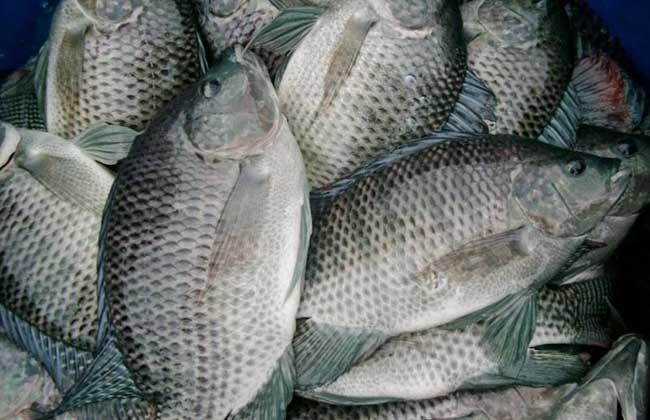罗非鱼养殖成本