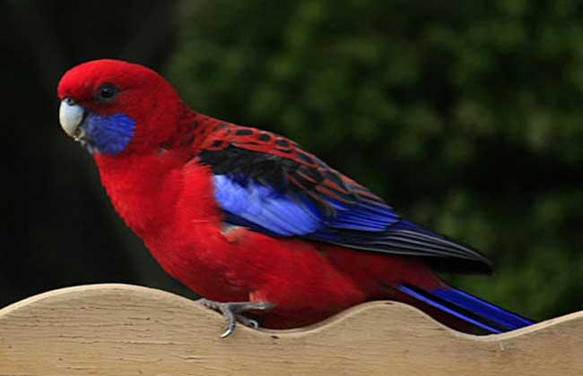 深红玫瑰鹦鹉怎么养