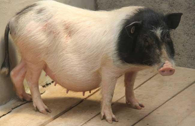 香猪养殖技术视频