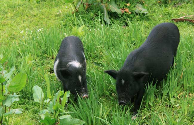 藏香猪多少钱一斤?