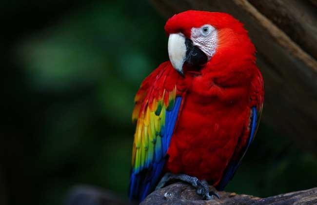 宠物鹦鹉种类图片