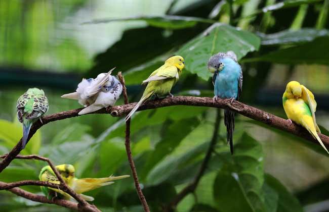 虎皮鹦鹉怎么分公母 牡丹鹦鹉会说话吗 金刚鹦鹉价格多少钱图片