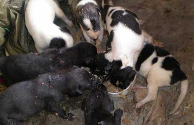 肉狗的养殖前景