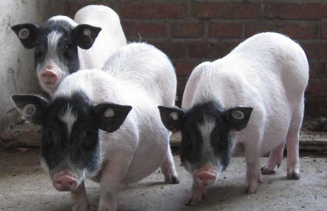 巴马香猪价格多少钱?