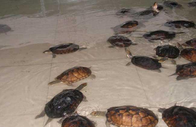 石金钱龟的养殖前景