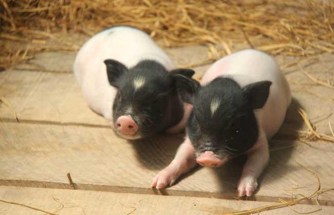 小香猪多少钱一只_香猪养殖技术_香猪养殖前景