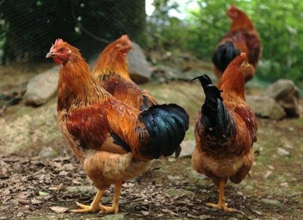 2014年养鸡赚钱吗?