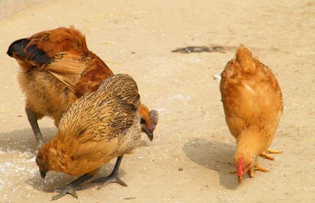 土鸡养殖技术_土鸡鸡舍建造_土鸡养殖成本与利润