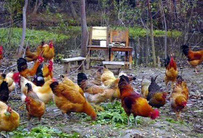 养鸡赚钱吗