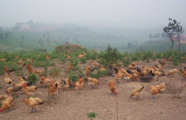 土鸡养殖技术视频指导
