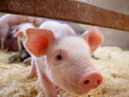 养猪讲技巧 节约饲料有门道