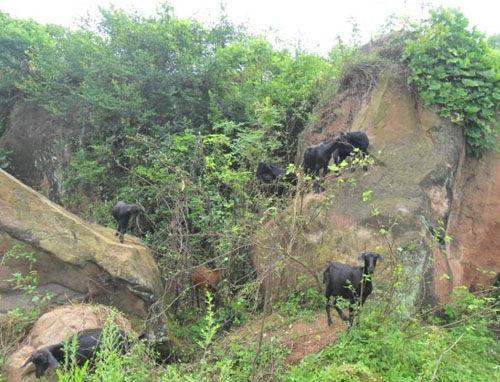 绿色肉畜养殖业