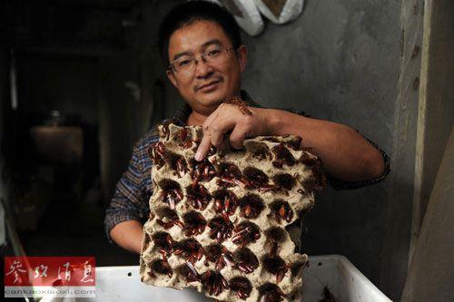蟑螂养殖者王富明(音)展示蟑螂窝