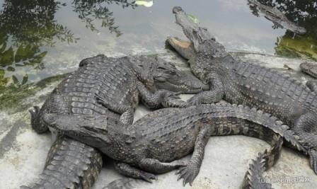 鳄鱼人工养殖及鳄鱼的经济价值