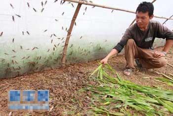 养蚂蚱的经济效益分析