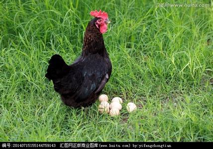 茶地套养土鸡 每只鸡纯利润60元