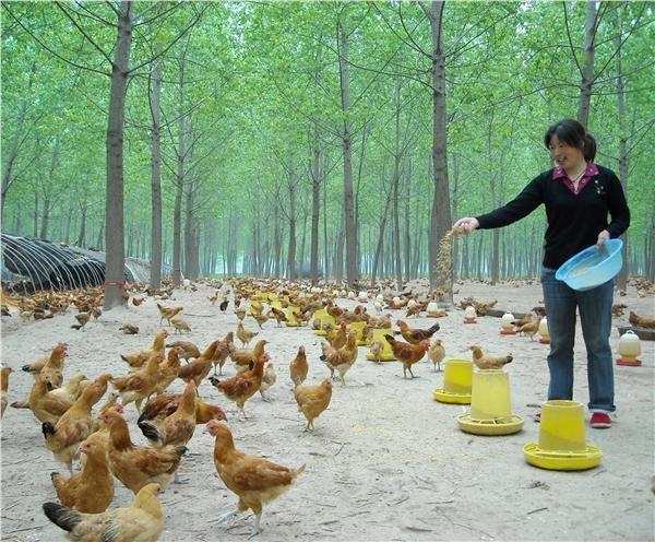 养殖土鸡能赚钱吗?