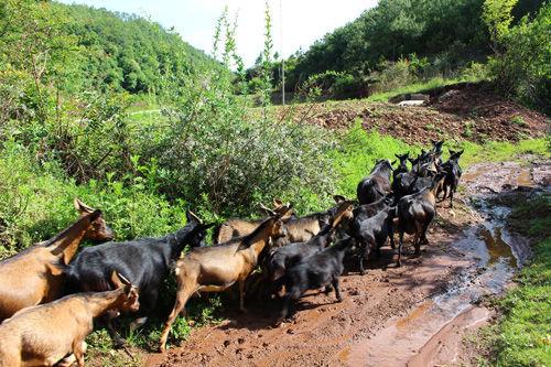 农村养殖高脚羊大有市场前景