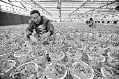 大棚种植铁皮石斛 资料图片