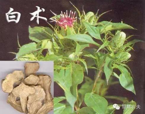 17个适合农村种植的药材品种-白术