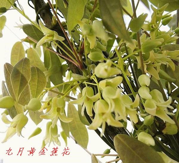 九月黄金蕉(五叶木通)种植基地与市场发展趋势