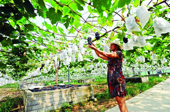 一亩地8棵葡萄 光采摘就能清销