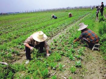 兰州榆中种野菜 摆在冷库待好卖