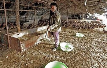 张氏蛋鸭无公害 成本虽高也能卖