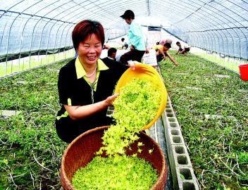 建德市莲花镇,分布着300亩铁皮石斛种植基地,是远近闻名的铁皮石斛之乡,也是杭州地区最大的铁皮石斛种植基地.图片