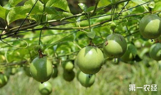 百香果种植