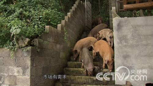 致富经野猪视频全集_[致富经]在野猪泛滥的地方养野猪(20141022) - 三农致富经