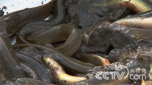安徽青年致富榜样(六)虫子改变的泥鳅财富