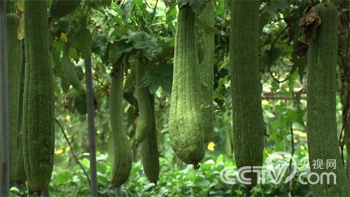 [致富经]巨型丝瓜里的财富玄机