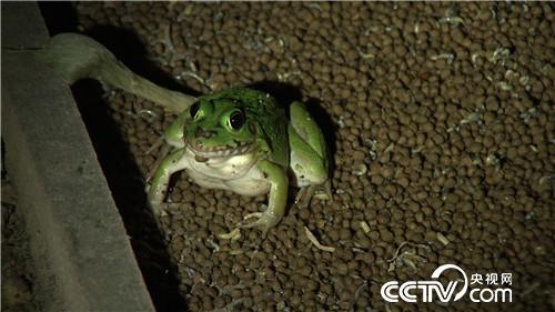 双胞胎兄弟养青蛙, 败家子 的命运反击战 20170104