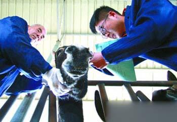 刁龙在观察记录毛驴生长情况。