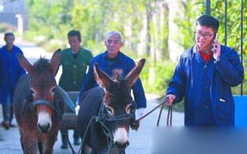 寻找、收购纯种关中驴,成为刁龙的重要日常工作之一。
