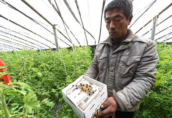 12月23日,河北省永清县北辛溜乡佃庄村村民在放蜂为棚菜授粉。
