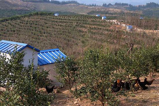 3月2日,在贵州黔东南黎平县高屯现代农业园区,鸡在油茶基地里觅食。