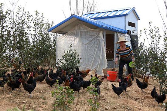 3月2日,在贵州黔东南黎平县高屯现代农业园区油茶基地里,管理员在给鸡投食。