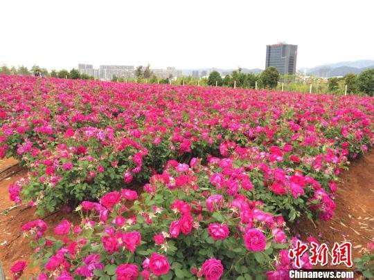 云南一高校种植万株食用玫瑰受热捧食用观赏两相宜