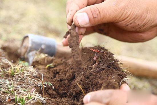 图为牧民正从撅起草皮上摘出冬虫夏草。