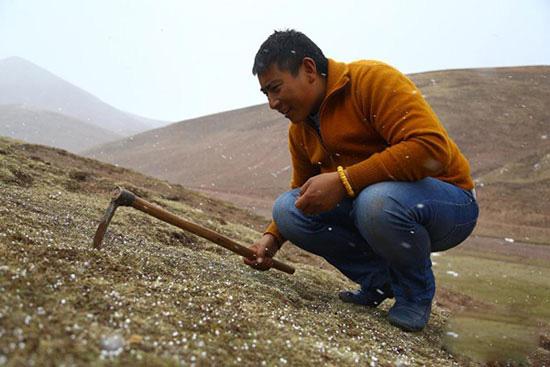 图为牧民在采挖冬虫夏草过后,正用镢头将草皮用锄头进行回填并砸实,以便草甸恢复。