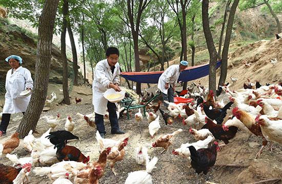 6月2日,山西省吕梁市临县兔坂镇砖瓦村村主任武雪峰(中)和村民一起在山沟里给散养的鸡喂饲料。