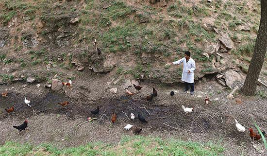 6月2日,山西省吕梁市临县兔坂镇砖瓦村村主任武雪峰给散养的鸡喂饲料。