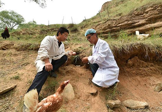 6月2日,山西省吕梁市临县兔坂镇砖瓦村村主任武雪峰(左)在和饲养员查看散养鸡下的蛋。