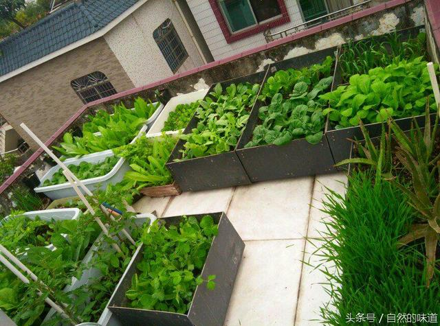种菜高手是怎样练成的,屋顶种出一片小清新 二图片